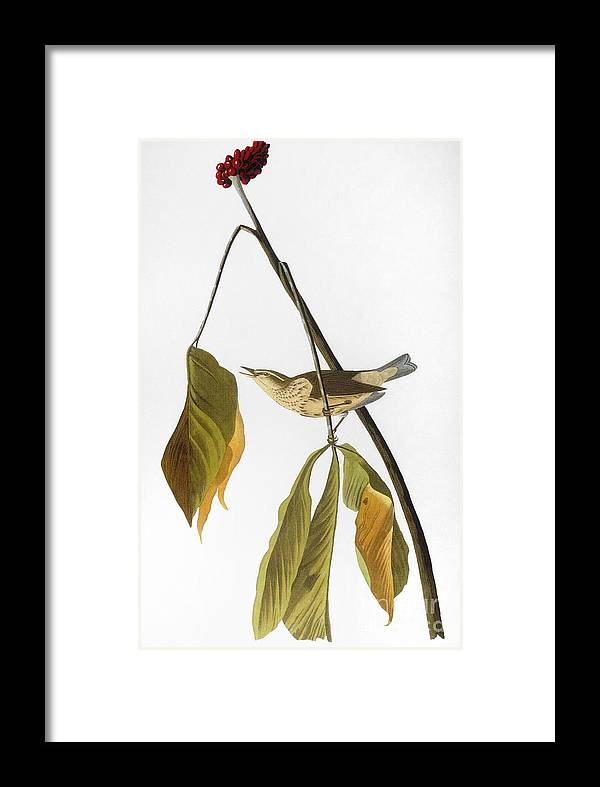 1827 Framed Print featuring the photograph Audubon: Thrush, 1827 by Granger
