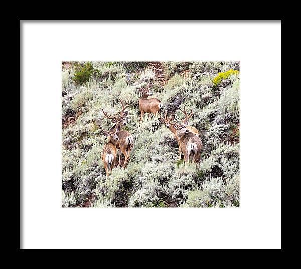 Mule Deer Framed Print featuring the photograph August Bucks by Daniel Davidson
