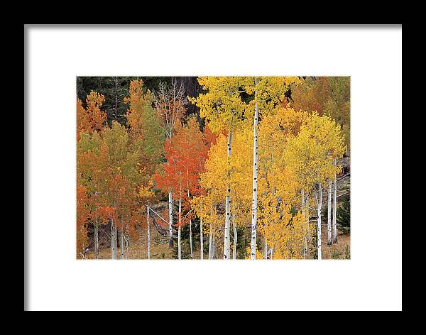 Aspen Framed Print featuring the photograph Autumn Aspen Trees by David Nunuk