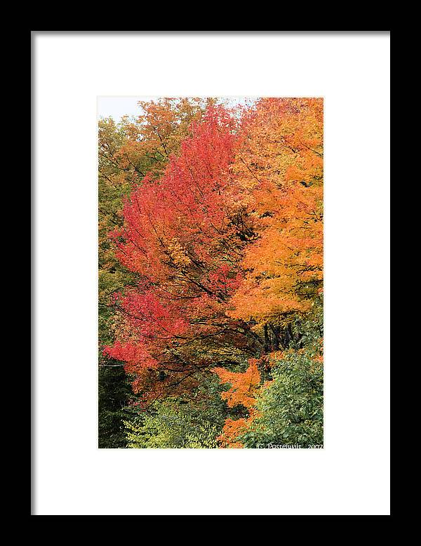 Maples Framed Print featuring the photograph Autumn Blazes by Carolyn Postelwait