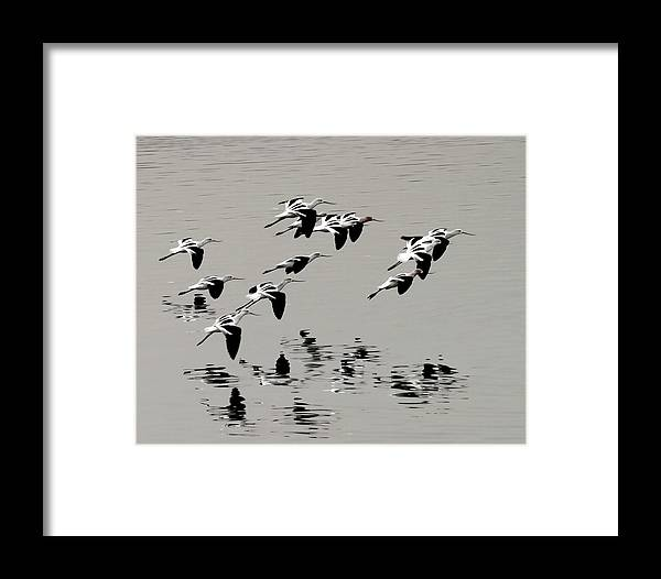 Avocets Framed Print featuring the photograph Avocets In Flight by Michael Riley