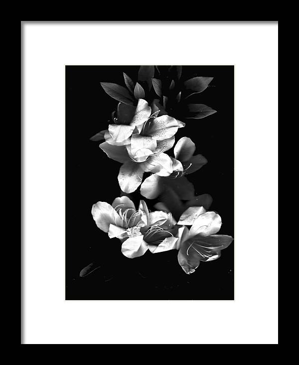 Azaela Framed Print featuring the photograph Azaela Blossom In Black And White by Wayne Potrafka