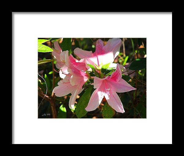 Pink Framed Print featuring the photograph Azalea's In Bloom by Judy Waller