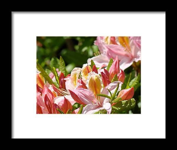 �azaleas Artwork� Framed Print featuring the photograph Azaleas Pink Orange Yellow Azalea Flowers 6 Summer Flowers Art Prints Baslee Troutman by Baslee Troutman