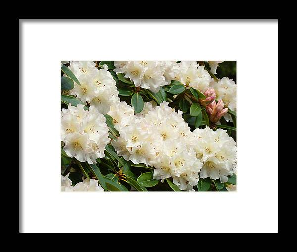 �azaleas Artwork� Framed Print featuring the photograph Azaleas Rhodies Landscape White Pink Rhododendrum Flowers 8 Giclee Art Prints Baslee Troutman by Baslee Troutman