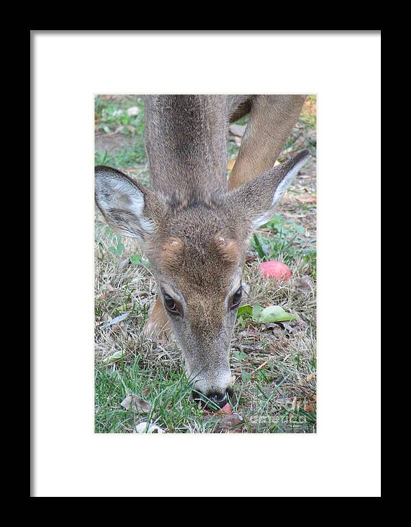 Deer Framed Print featuring the photograph Baby Backyard Button Buck by Anne Ditmars