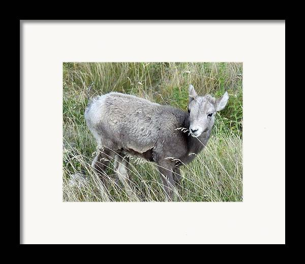 Baby Framed Print featuring the photograph Baby Bighorn by Tiffany Vest