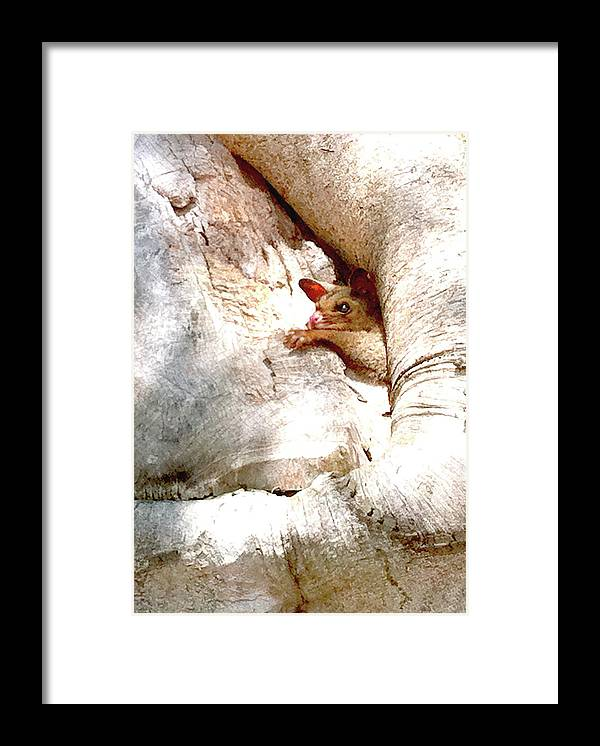 Brushtail Framed Print featuring the photograph Baby Brushtail Possum 2 by Darren Stein
