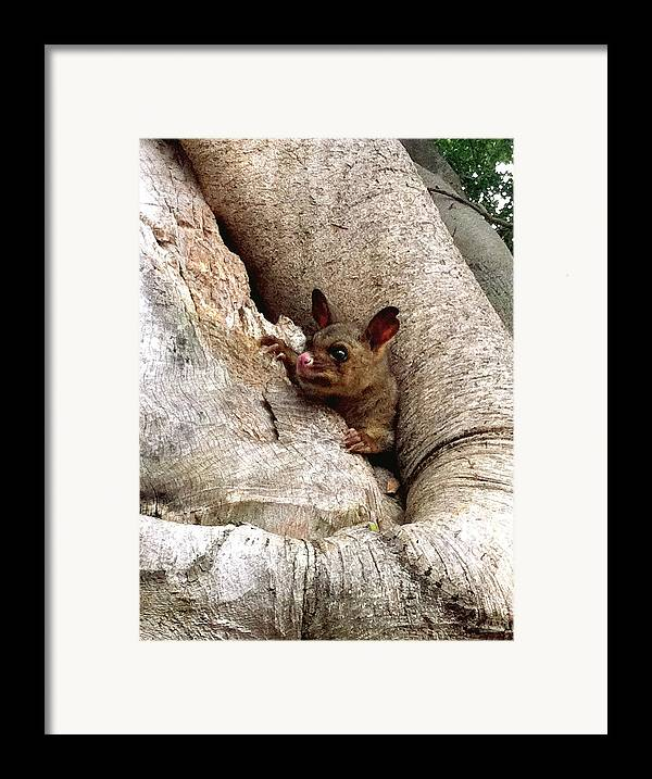 Brushtail Framed Print featuring the photograph Baby Brushtail Possum by Darren Stein