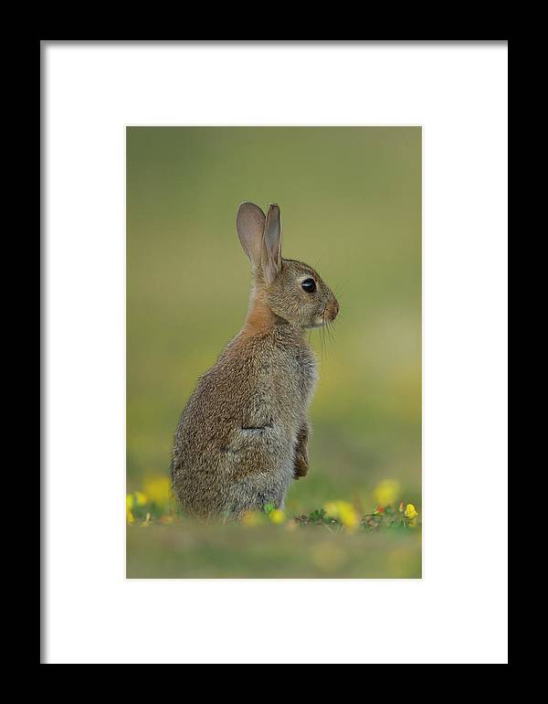 Rabbit Framed Print featuring the photograph Baby Bunny by Kevin Sawford