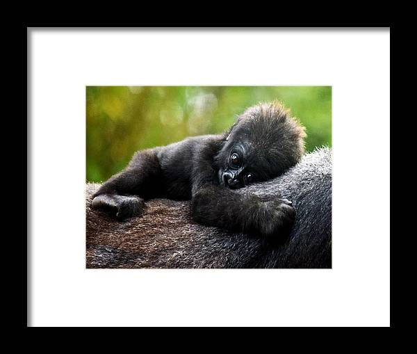 Baby Gorilla Framed Print featuring the photograph Baby Gorilla by Priscilla Campbell