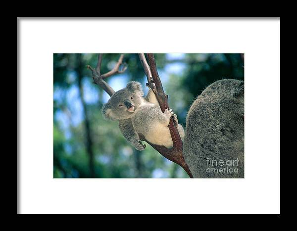 Animal Art Framed Print featuring the photograph Baby Koala Bear by Himani - Printscapes