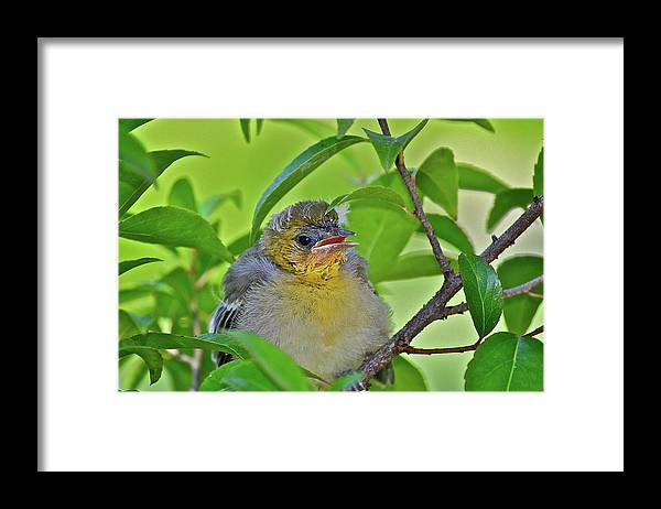 Birds Framed Print featuring the photograph Baby Oriole by Diana Hatcher