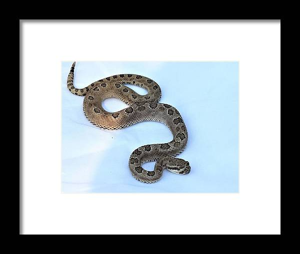 Rattlesnake Framed Print featuring the photograph Baby Rattler by Melody Safken
