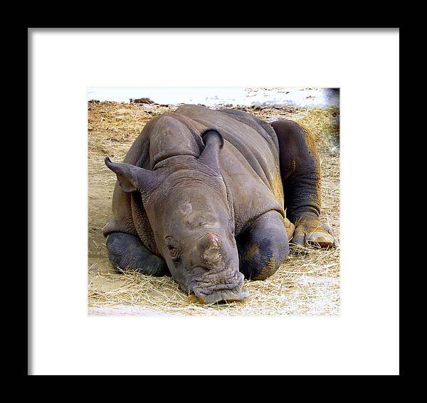 Rhino Framed Print featuring the photograph Baby Rhino Resting by Terri Mills