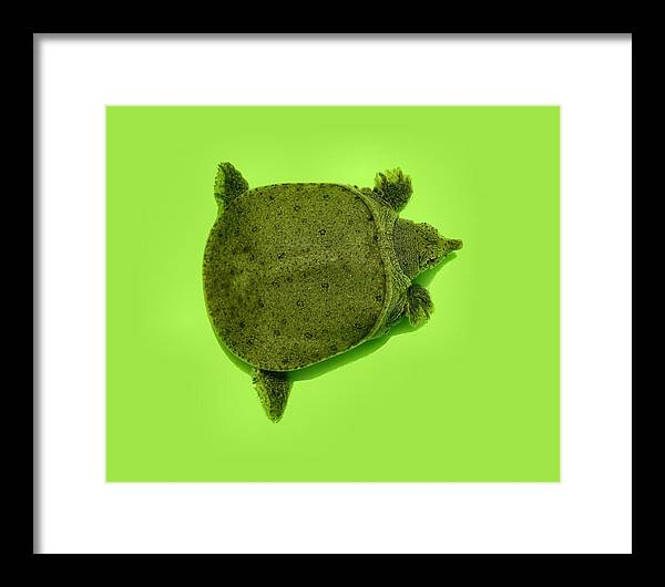 Turtle Framed Print featuring the photograph Baby Soft Shelled Turtle by Kathy Daxon