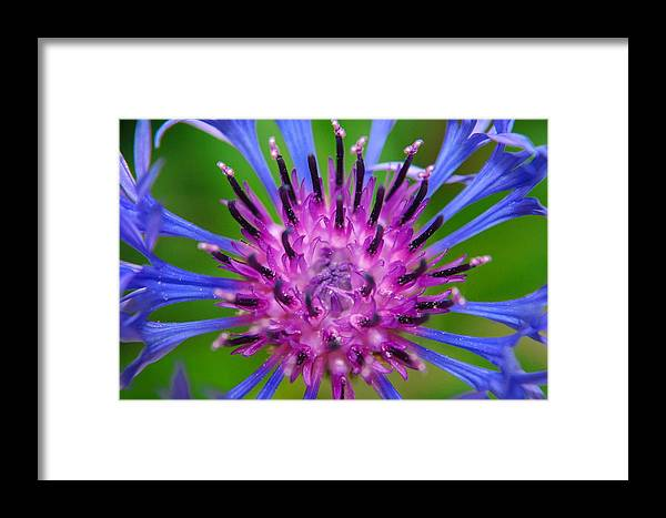Bachelor Button Framed Print featuring the photograph Bachelor Button by Barbara Knowles