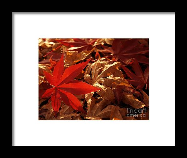 Leaf Framed Print featuring the photograph Back-lit Japanese Maple Leaf On Dried Leaves by Anna Lisa Yoder