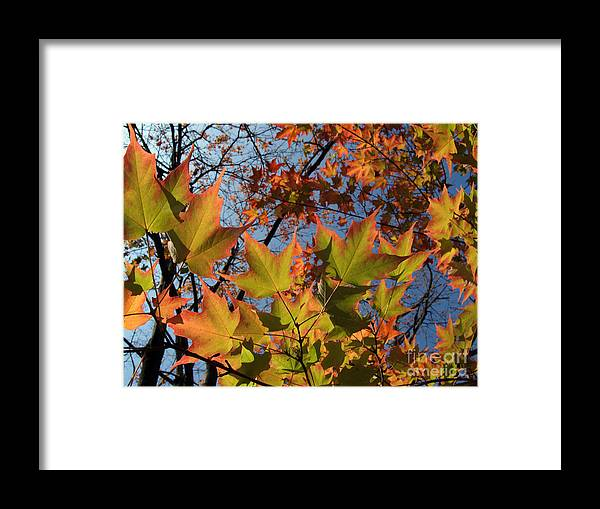Leaf Framed Print featuring the photograph Back-lit Sugar Maple Leaves From Below by Anna Lisa Yoder