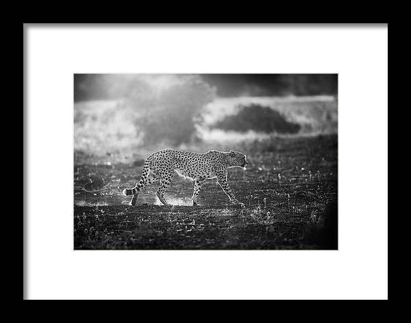 Nature Framed Print featuring the photograph Backlit Cheetah by Jaco Marx