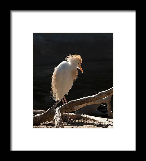 Bird Framed Print featuring the photograph Backlit Egret by Sandra Bronstein
