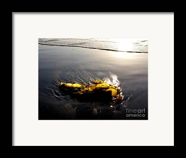 Kelp Framed Print featuring the photograph Backlit Kelp by PJ Cloud