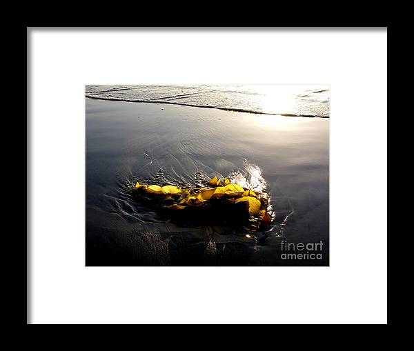 Kelp Framed Print featuring the photograph Backlit Kelp by PJ Cloud