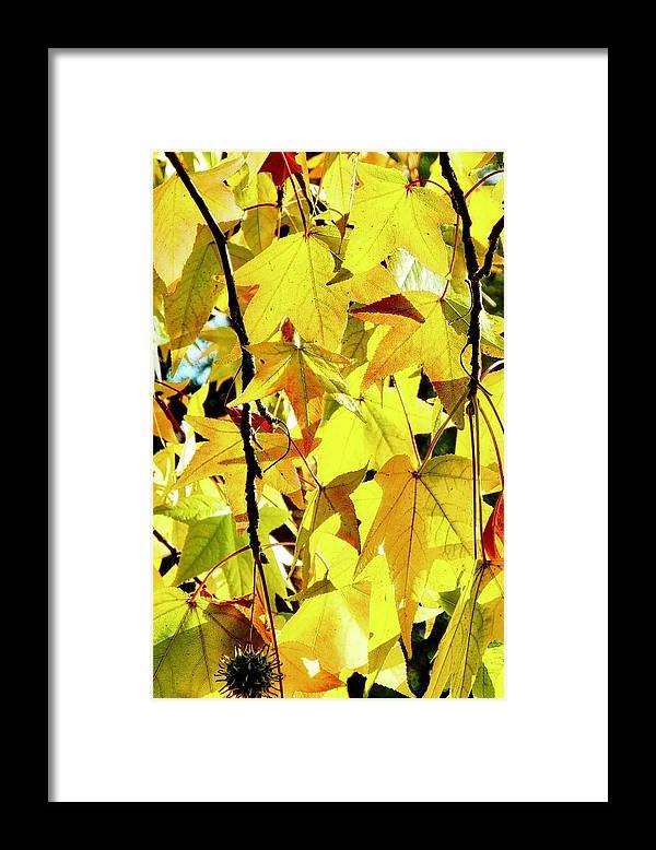 Liquidambar Framed Print featuring the photograph Backlit Liquidambar Leaves by Kirsten Giving