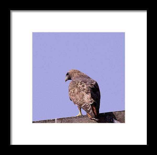 Birds Framed Print featuring the photograph Backside Of A Hawk  by Jeff Swan