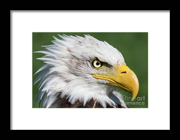 Bald Eagle Framed Print featuring the photograph Bad Hair Day by Eyeshine Photography