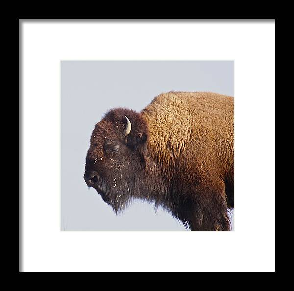 Animal Framed Print featuring the photograph Baffalo by Robert Pearson