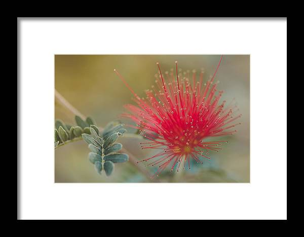 Botanical Framed Print featuring the photograph Baja Fairy Duster by Don Schwartz