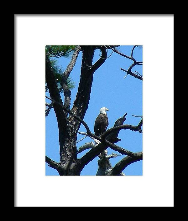 Bald Ealge Framed Print featuring the photograph Bald Eagle II by Peter McIntosh