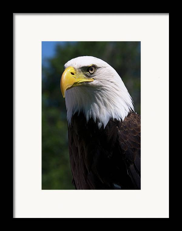 Skyhunter Framed Print featuring the photograph Bald Eagle by JT Lewis