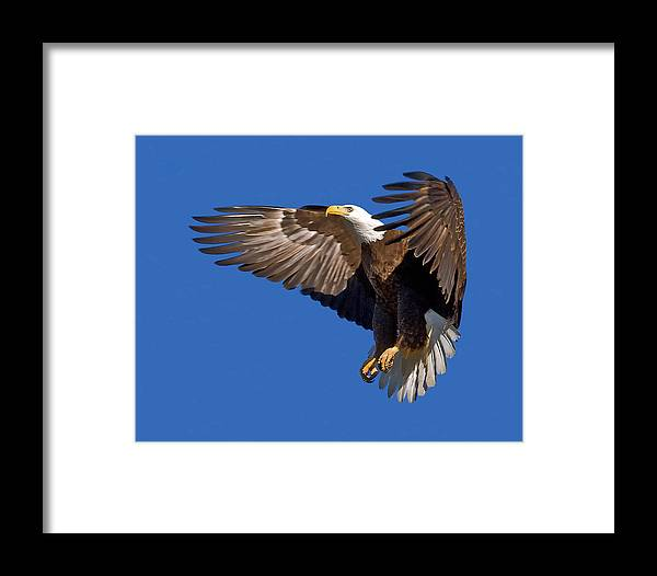 Bald Eagle Framed Print featuring the photograph Bald Eagle Landing by Larry Linton
