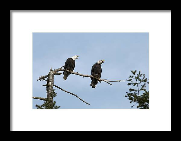 Bald Eagle Framed Print featuring the photograph Bald Eagle Perch by Chad Davis