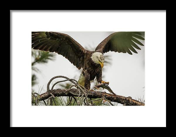 California Framed Print featuring the photograph Bald Eagle Picking Up Fish by Marc Crumpler