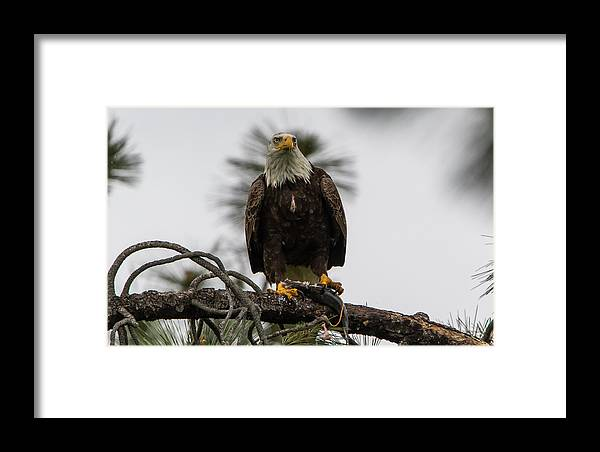 California Framed Print featuring the photograph Bald Eagle Protecting His Fish by Marc Crumpler