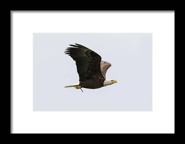 Eagle Framed Print featuring the photograph Bald Eagle Returns With Nesting Material by Tony Hake