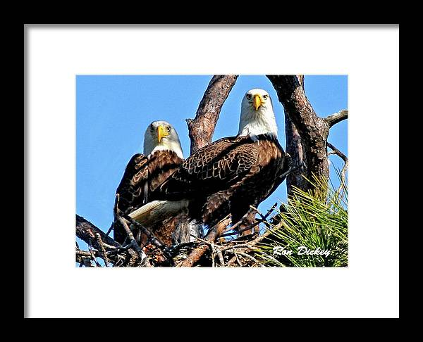 Bald Eagle Framed Print featuring the photograph Bald Eagles In Nest by Ronald Dickey