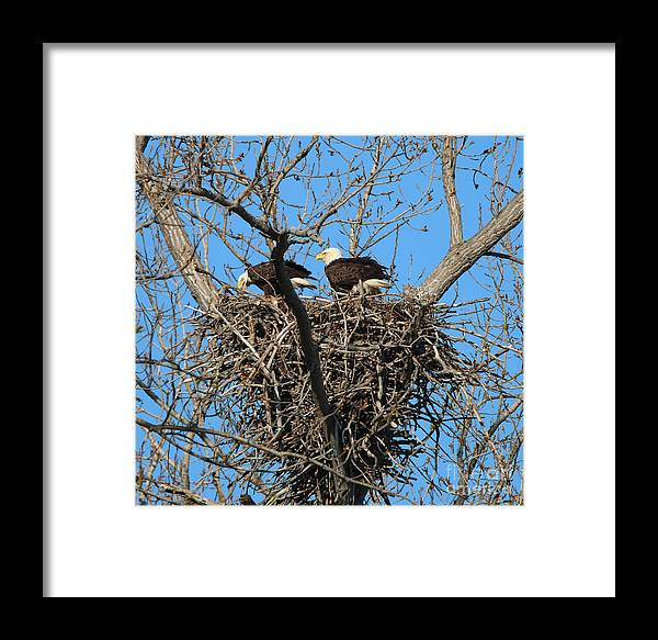 Bald Eagles Framed Print featuring the photograph Bald Eagles Working On The Nest  3682 by Jack Schultz