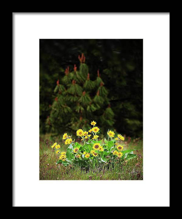 Plant Framed Print featuring the photograph Balsamroot And Evergreen by John Christopher