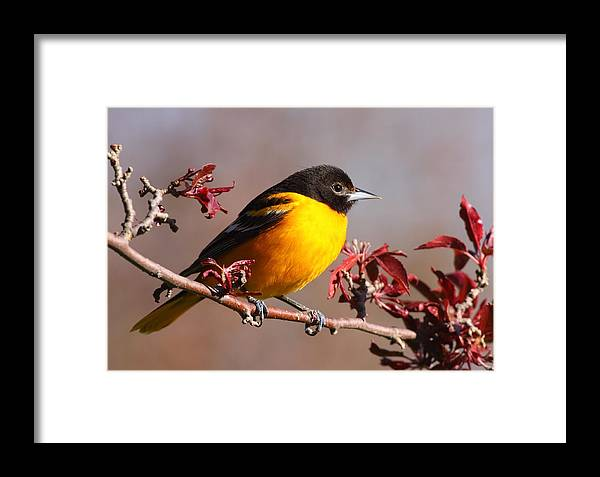 Baltimore Oriole Framed Print featuring the photograph Baltimore Oriole In Crabapple by Bruce J Robinson