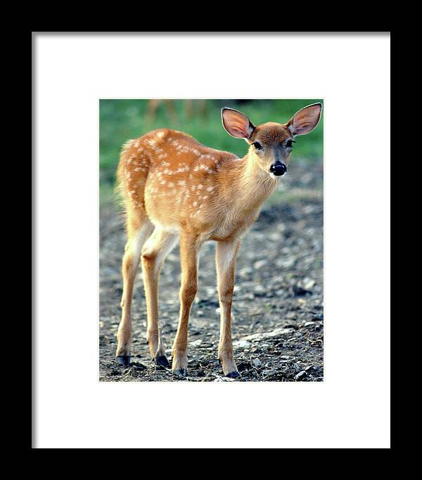 Faunagraphs Framed Print featuring the photograph Bambi2 by Torie Tiffany