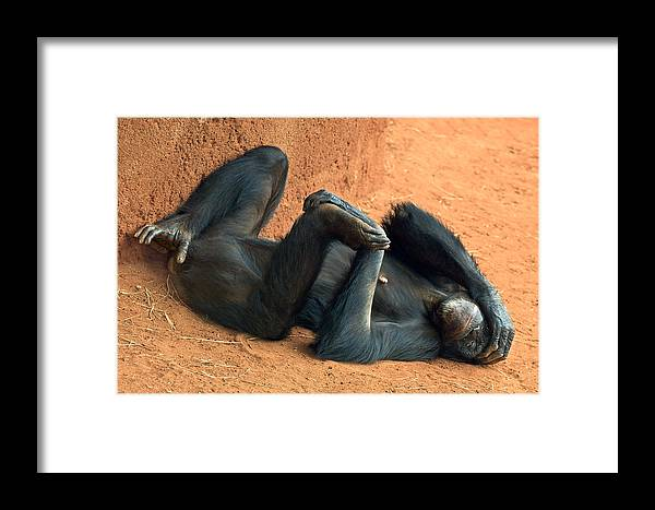 Chimpanzee Framed Print featuring the photograph Banana Punch by Marvin Rivera