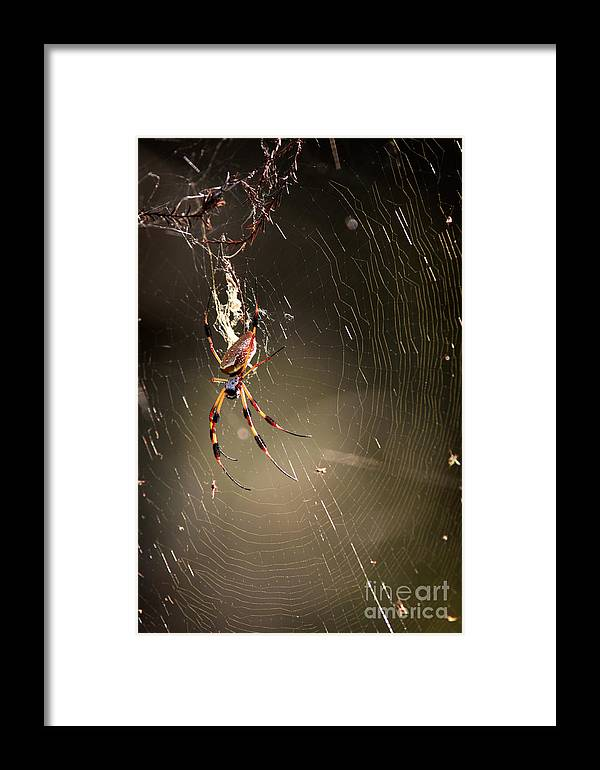 Banana Spider Framed Print featuring the photograph Banana Spider by Matt Suess