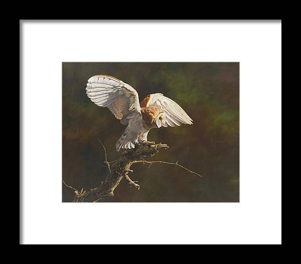 Wildlife Paintings Framed Print featuring the painting Barn Owl by Alan M Hunt