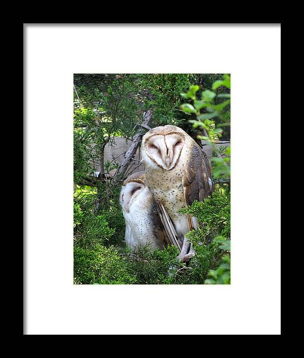 Barn Owl Framed Print featuring the photograph Barn Owls by George Jones
