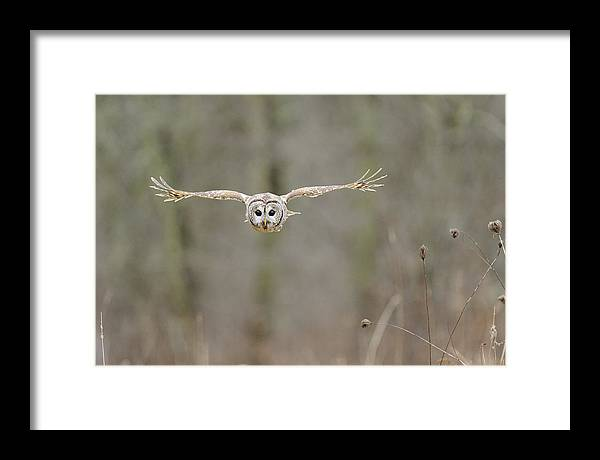 Barred Framed Print featuring the photograph Barred Owl In Flight II by Scott Linstead