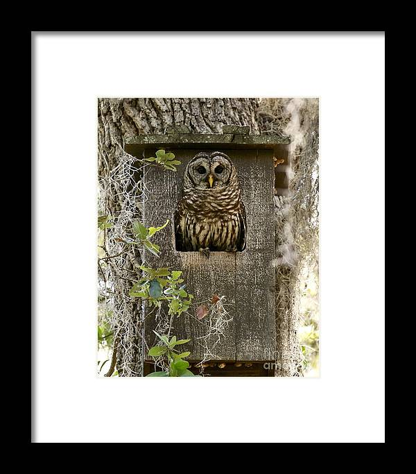 Birds Framed Print featuring the photograph Barred Owl In Nest Box by Myrna Bradshaw